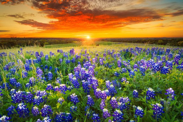 Viewing Tips For Texas's Roadside Bluebonnets